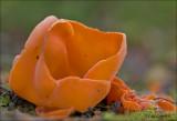 Orange Peel Fungus - Grote oranje bekerzwam - Aleuria aurantia