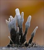 Candlesnuff fungus - Geweizwam - Xylaria hypoxylon