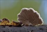 Splitgill - Waaiertje - Schizophyllum commune