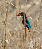 White-throated Kingfisher - Smyrna-ijsvogel - Halcyon smyrnensis