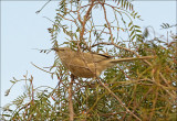 Arabian Babbler - Arabische Babbelaar - Turdoides squamiceps