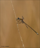 Small Spreadwing - Tengere Pantserjuffer - Lestes virens