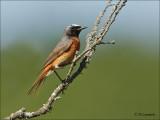 Common Redstart - Gekraagde Roodstaart - Phoenicurus phoenicurus