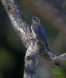 Hoffmann's Woodpecker (female) Hoffmanns specht - Melanerpes hoffmannii