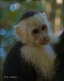 White-headed Capuchin - Witschoudercapucijneraap - Cebus capucinus