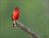 Summer Tanager (male) - Zomertangare -  Piranga rubra
