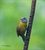 Passerini's Tanager (female) - Roodrugtangare - Ramphocelus passerinii