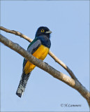 Gartered Trogon -  Goulds trogon - Trogon caligatus
