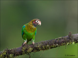 Brown-hooded Parrot - Roodoorpapegaai - Pyrilia haematotis