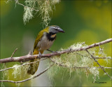 Buff-throated Saltator - Bontkeelsaltator - Saltator maximus