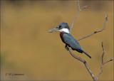 Ringed Kingfisher - Amerikaanse reuzenijsvogel - Megaceryle torquata