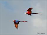 Scarlet Macaw - Geelvleugelara - Ara macao