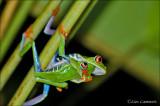 Red-eyed tree frog - Roodoogmakikikker -Agalychnis callidryas