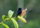 Thick-billed Seed-Finch - Diksnavelzaadkraker - Oryzoborus funereus