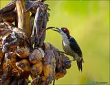 Black- Cheeed Woodpecker - Zwartwangspecht - Melanerpes pucherani