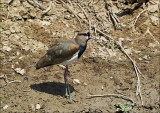 Southern Lapwing - Chileense kievit - Vanellus chilensis