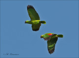 Red-lored Parrot - Geelwangamazone -  Amazona autumnalis