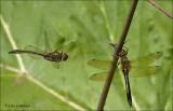 Downy Emerald - Smaragdlibel - Cordulia aenea