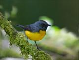 Slate-throated Redstart - Meniezanger - Myioborus miniatus