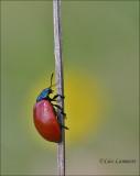 Red Poplar Leaf Beetle - Groot populierenhaantje - Chrysomela populi