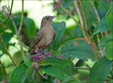 Clay-colored Thrush - Grays lijster- Turdus grayi