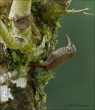 Streak-headed Woodcreeper - Streepkopmuisspecht -  Lepidocolaptes souleyetii