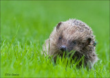Hedgehog - Egel - Erinaceus europaeus
