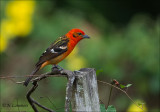 Flame-colored Tanager -  Bloedtangare - Piranga bidentata