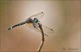 Dragonfly - Libel