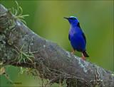 Red-legged Honeycreeper - Blauwe suikervogel - Cyanerpes cyaneus