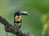 Collared Aracari - Halsbandarassari -  Pteroglossus torquatus