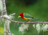 Red - Headed Barbet - Roodkopbaardvogel -  Eubucco bourcierii