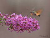 Hummingbird Hawk-moth - Kolibrievlinder - Macroglossum stellatarum