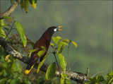 Montezuma oropendola -  Psarocolius montezuma