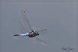 Black-tailed Skimmer - Gewone oeverlibel - Orthetrum cancellatru