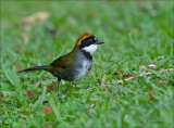 Chestnut-capped Brush-finch -  Bruinkapstruikgors  - Arremon brunneinucha
