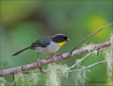 White-naped Brush- Finch - Witnekstruikgors - Atlapetes albinucha