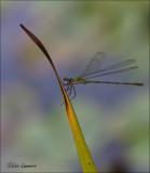 Willow Emerald Damselfly - Houtpantserjuffer - Chalcolestes viridis