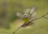 Western Kingbird - Arkansaskoningstiran - Tyrannus verticalis