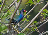 Purple Gallinule - Amerikaans purperhoen - Porphyrio martinicus