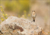 Northern wheatear - Tapuit - Oenanthe oenanthe