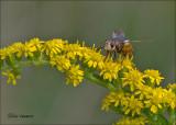 Tachinid Fly - Woeste sluipvlieg - Tachina fera