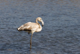 Greater Flamingo - Flamingo - Phoenicopterus roseus (Juvenile)