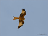 Red Kite - Rode Wouw - Milvus milvus