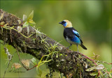 Golden-hooded Tanager - Purpermaskertangare - Tangara larvata