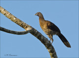 Gray headed Chachalaca - Grijskopchachalaca - Ortalis cinereiceps