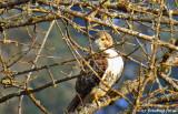 Red-tailed Hawk, I Presume!
