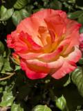 Cihuly Rose.jpg