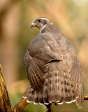Havik    -    Northern Goshawk