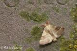 Heideringelrups - Malacosoma castrense